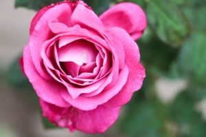 Macro photograph of pink Rose.