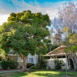 Flaxleaf Paperbark Tree