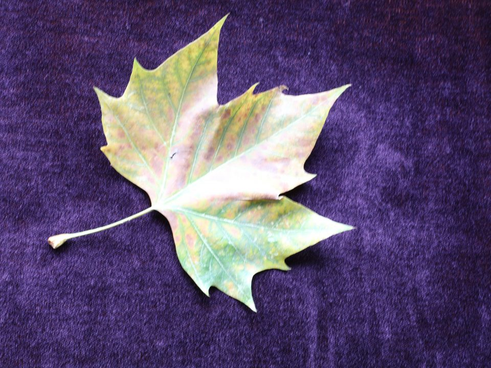 Maple leaf on purple background